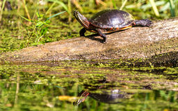 Midland Painted Turtle. (Chrysemys picta marginata) Basking on a Log Surrounded by Lily Pads in Michigan.  Reflections can be seen in water Royalty Free Stock Image