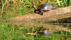 Midland Painted Turtle stock video