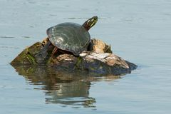 Midland Painted Turtle - Chrysemys picta marginata. Midland Painted Turtle basking in the warm, spring sunshine on a tiny island in the pond. Rouge National Stock Image