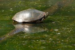 Midland Painted Turtle - Chrysemys picta marginata. Midland Painted Turtle, resting on a submerged log basking in the sun. High Park, Toronto, Ontario, Canada Stock Image
