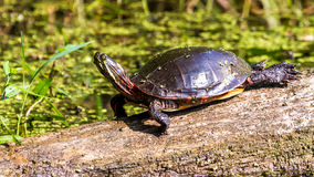 Midland Painted Turtle. Closeup of a Midland Painted Turtle (Chrysemys picta marginata) Basking on a Log Surrounded by Lily Pads in Michigan Royalty Free Stock Photos