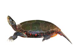 Midland Painted Turtle Isolated Royalty Free Stock Photos