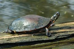 Painted Turtle: Midland Subspecies. Midland Painted Turtle on a log basking in the sun. McKenzie Marsh, Aurora, Ontario, Canada Stock Photography