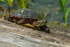 Painted Turtle: Midland Subspecies. Midland Painted Turtle resting on a log basking in the sun. Rouge National Urban Park, Toronto, Ontario, Canada Royalty Free Stock Photography