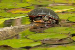 Painted Turtle: Midland Subspecies. Midland Painted Turtle resting on a log in the pond, basking in the sun. Don Valley Brickworks Park, Toronto, Ontario, Canada Stock Images