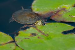 Painted Turtle: Midland Subspecies. Midland Painted Turtle turtle floating in a pond with its head poking out of the water and resting on a lily pad. Don Valley Royalty Free Stock Photography