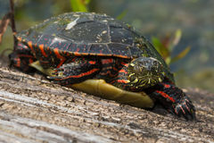 Midland Painted Turtle Royalty Free Stock Photography