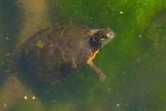 Midland pintó la tortuga - marginata del picta del Chrysemys fotografía de archivo