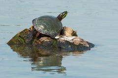 Midland pintó la tortuga - marginata del picta del Chrysemys imagen de archivo