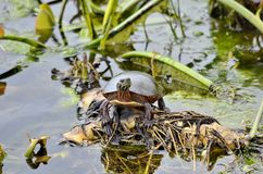 Midland pint? la tortuga en el salvaje foto de archivo