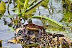 Midland pint? la tortuga en el salvaje fotografía de archivo