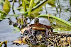 Midland pint? la tortuga en el salvaje foto de archivo libre de regalías