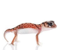 Midline Knob-tailed Gecko Stock Images