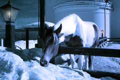 Midnight horse eating snow Stock Image