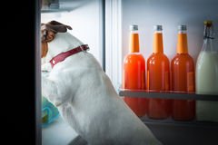 Midnight hungry dog. Hungry dog looking for food in the refrigerator royalty free stock image
