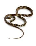 Midnight Mangrove Snake Royalty Free Stock Image