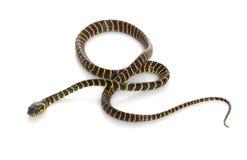 Midnight Mangrove Snake Royalty Free Stock Photo