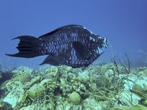 Midnight Parrotfish on a Tropical Reef. System in the Caribbean stock photo