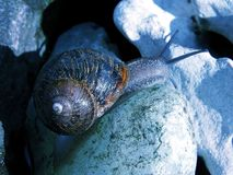 midnight snail Royaltyfri Foto
