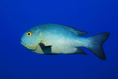 Midnight snapper fish Royalty Free Stock Photography