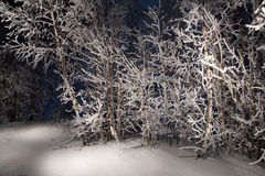 Midnight winter tree. Lone trees in snowy woods Royalty Free Stock Photos