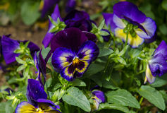 Midnite Glow Pansies. The bright indigo and yellow flowers of the Moonlight Glow Pansy plant Stock Photos