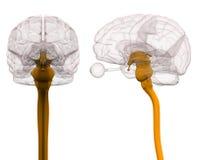 Midollo spinale Brain Anatomy - illustrazione 3d Fotografia Stock