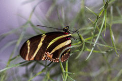 Midpoint. Tropical Butterfly Dido Longwing macro in green leafs Royalty Free Stock Photos