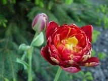 Midspring-blühende Pflanze Stockfotos