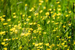Midsummer countryside meadow with flowers Royalty Free Stock Image