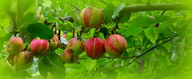 Background. Landscape with fruits. Small apples in an apple tree in orchard, in early summer stock images