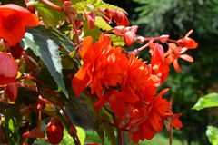 Nice red Begonia. Nice flowers in the garden in midsummer, in a sunny day. Green landscape stock photography