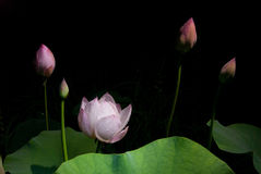 Midsummer lotus Royalty Free Stock Photo