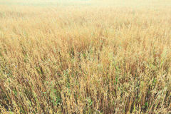 Midsummer oat or Avena sativa farm field floral covering texture Stock Image