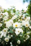 Midsummer rose in full blossom. Beautiful Midsummer rose, Rosa spinossissima in full blossom in a finnish summer cottage yard- closeup Stock Photo