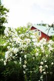 Midsummer rose in full blossom- cottage in the background Royalty Free Stock Photos