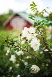 Midsummer rose in full blossom- cottage in the background Stock Photography