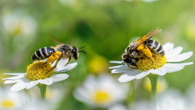 In midsummer. Two bees at work in a sunny day stock image