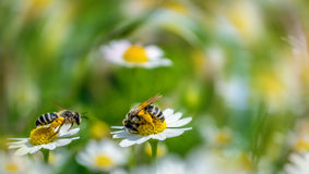In midsummer. Two hard working bees at work Royalty Free Stock Images