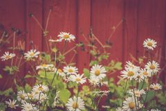 Midsummerflowers i Sverige - solig dag Royaltyfri Fotografi