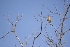 Midwest κίτρινη συνεδρίαση πουλιών στο δέντρο με τους γυμνούς κλάδους και τον ασυννέφιαστο μπλε ουρανό ως υπόβαθρο Στοκ φωτογραφία με δικαίωμα ελεύθερης χρήσης
