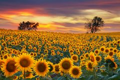 Midwest Blooming Sunflower Field. Sunflower field in the Midwest in full bloom at sunset royalty free stock photography