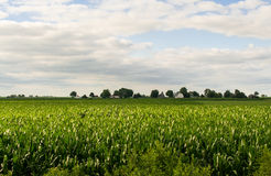 Midwest cornfield in the afternoon. Stock Photography
