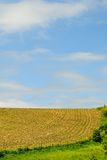 Midwest Crop Field. Row of Crops in a Field Against a Blue Sky on Midwestern Farmland Stock Images