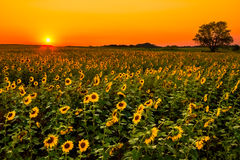 Midwest Sunflowers Royalty Free Stock Photography
