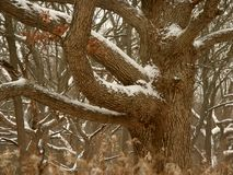 Midwest Winter Forest Scene. Oak tree dusted with winter snow in the Midwest United States Stock Image
