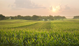 Midwestern cornfield below setting sun Stock Images