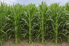 Midwestern usa Śródpolna kukurudza Zdjęcie Royalty Free