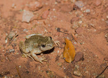 Midwife Toad on the ground. A Common Midwife Toad - Alytes obstetricans - crawling on the ground during a rainy night Stock Images