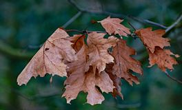 Midwinter leaves of an oak tree stock photo